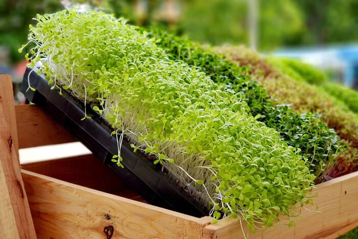 Micro-Greens-vegetables