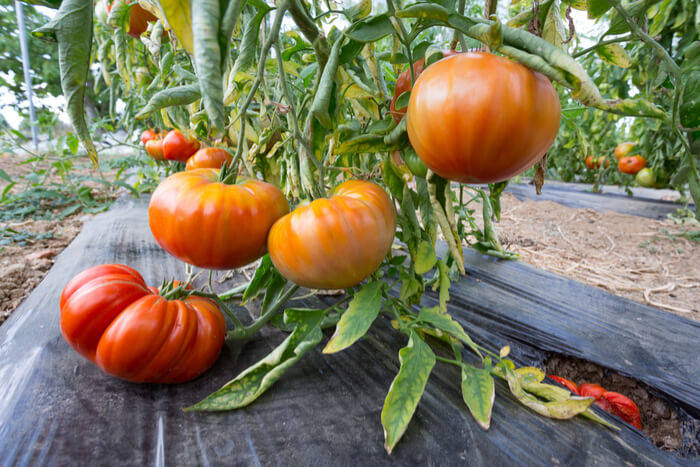 tomato growing mulch