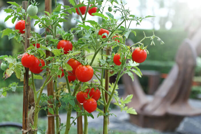 Everything You Need to Know About Tomato Growing