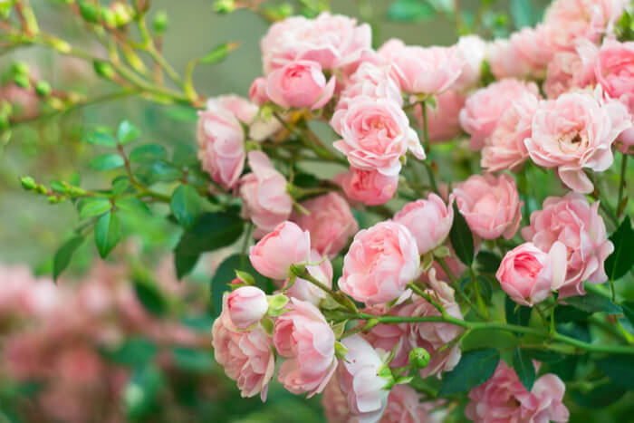 How to Plant Roses: The Most Important Information