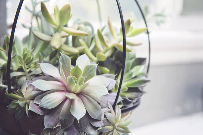 Hanging Succulents indoor gardening ideas