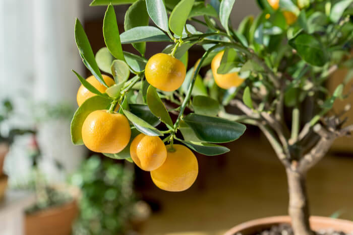 How to Plant a Lemon Tree for All Gardening Levels