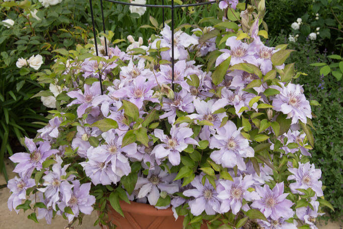 How to Plant Clematis 888