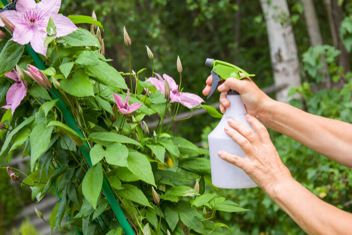 How to Plant Clematis 999