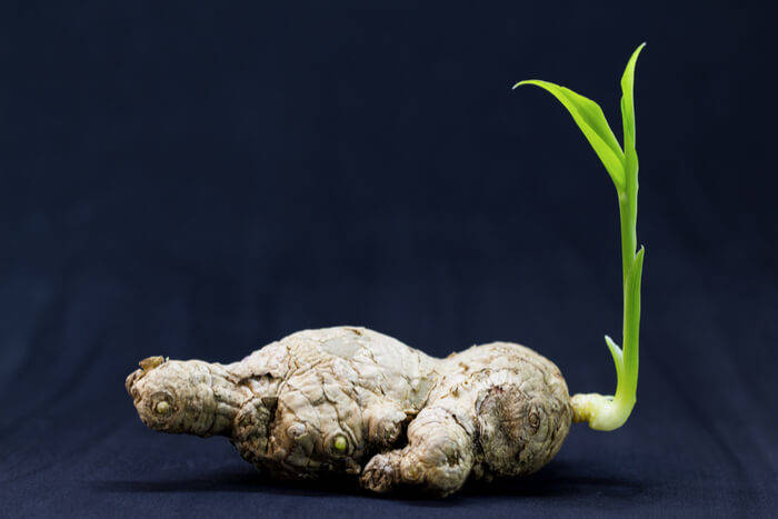 how to plant a ginger take care