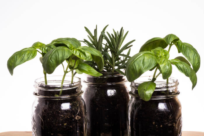 how to plant basil 777