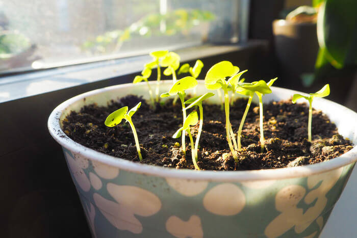 how to plant basil pot