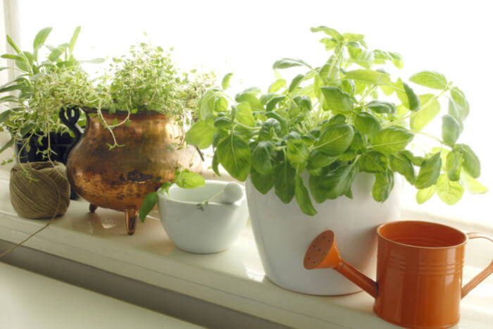 how to plant basil watering