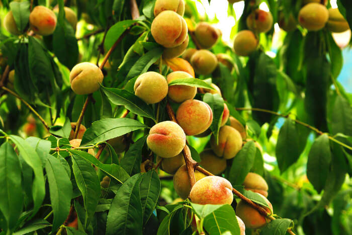 How to take care of peach tree