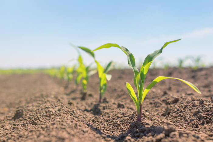How to grow corns
