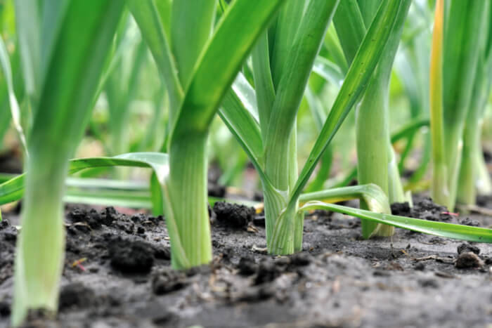 How to plant leek