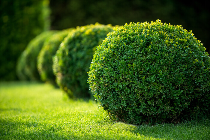 How to Plant Boxwood Shrubs in your Garden